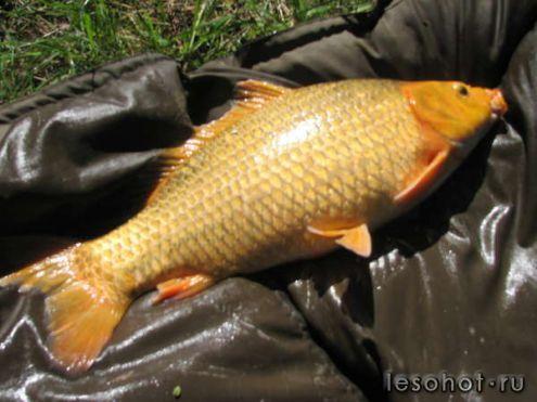 рыбалка в архангельском золотой карп