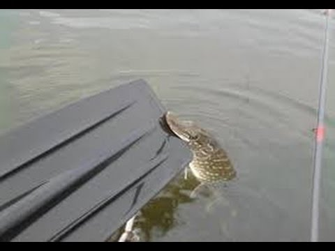Top 5 Pike attacks