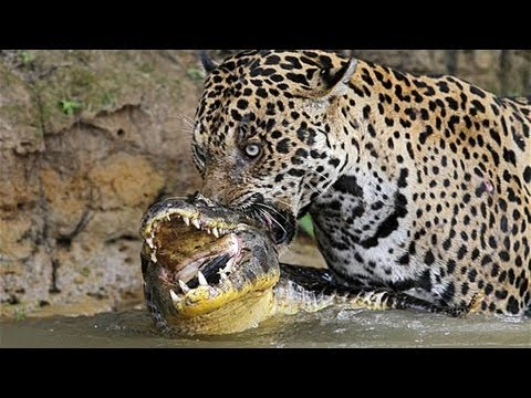 Jaguar attack Crocodile - Jaguar vs. Crocodile. Ягуар против крокодила